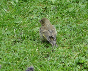 Juvenile Greenfinch/Yellowhammer/Bunting???