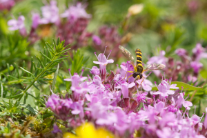 Hoverfly on Breckland thyme