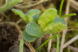 Yellow-rattle seedlings