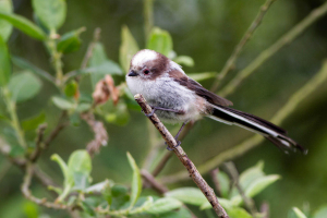 Logn-tailed Tit