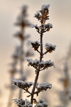 Figwort? in the frost