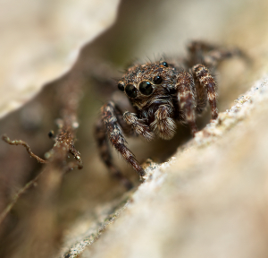 Unknown species of jumping-spider