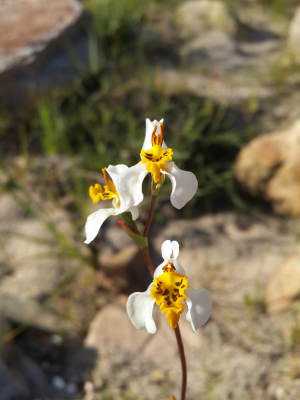 Western Cape Indigenous Orchids