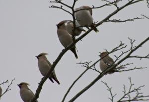 Waxwings in Deans