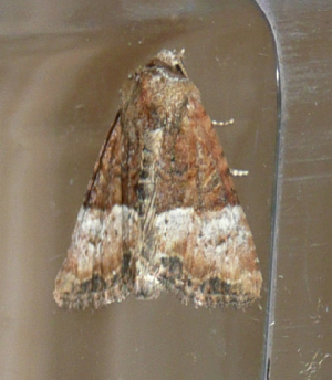 Cloaked Minor - f.bicoloria