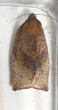 Large Fruit-tree Tortrix