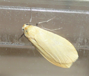 Orange Footman - Usual form