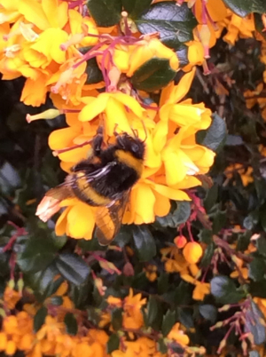 Bumble bee Buff-tailed or White-tailed?