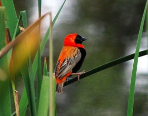 Southern Red Bishop / Suidelike rooivink - Japenese Garden Durban