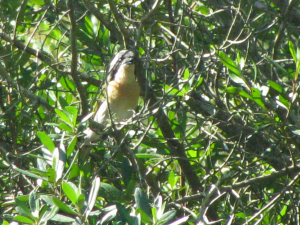 Olive Bush-Shrike