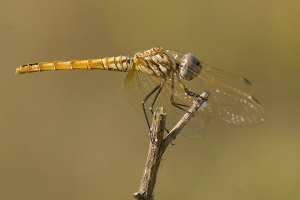 Trithemis annulata (female) low res