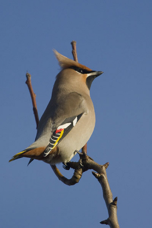 Waxwing adult