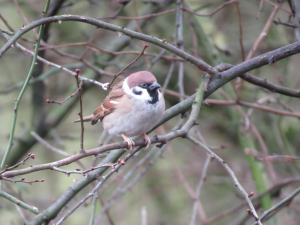 Tree sparrows in and around the Yorkshire Dales National Park.