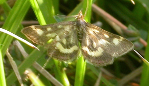 Pyrausta purpuralis (faded individual)