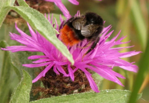 Large Red-tailed Bumblebee 2013-07-17 Foxton