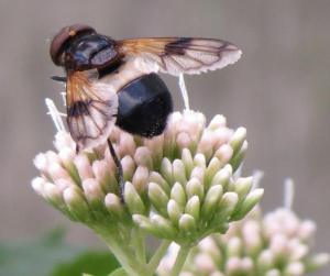 Dipteran with white-banded abdomen