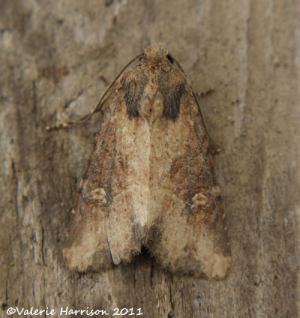 common-rustic