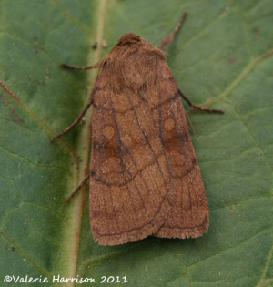 six-striped-rustic