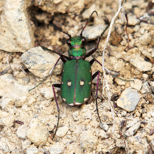 green-tiger-beetle