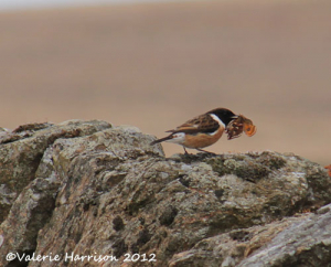 Stonechat-and-Emperor