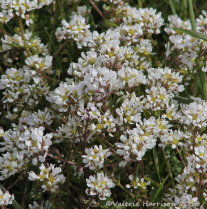 scurvey-grass