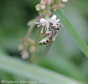 small-hoverfly
