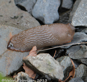 brown-slug