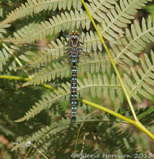 Common-hawker