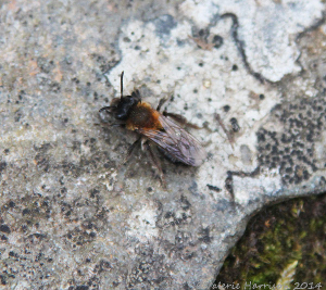 2-early-mining-bee