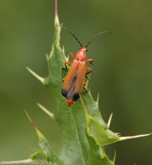 Soldier-beetle