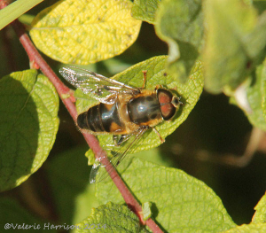 hoverfly-4