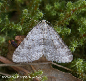 Mottled Grey