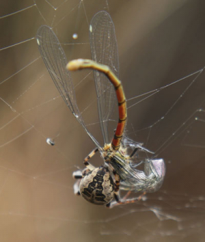 Orb Spider eating large red damselfly