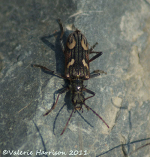 Two-barred-longhorn