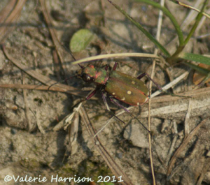 Tiger-Beetle