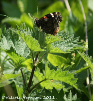 Red-admiral-on-nettle