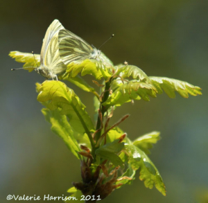 Mating-green-veined-white