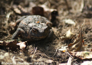 common-toad