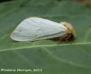 male-ghost-moth