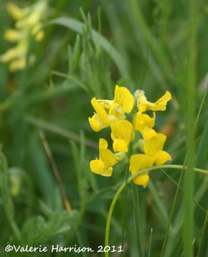 Meadow-vetchling