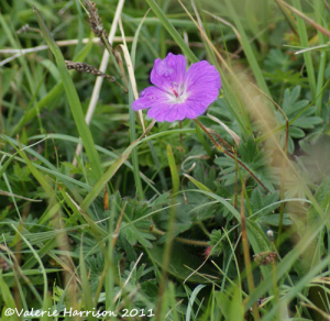Which cranesbill