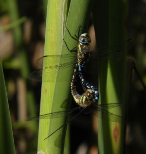 Mating hawker dragonflies