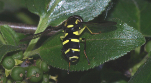 wasp mimic