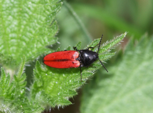 red and black beetle