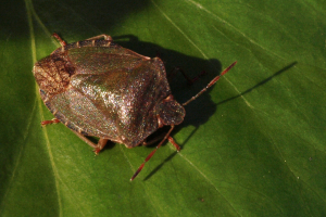 shield bug 01