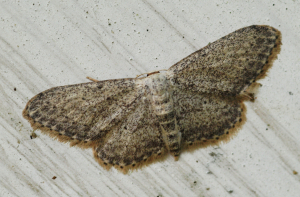 speckled moth