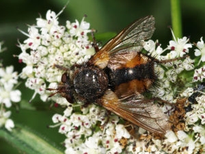 hoverfly 6