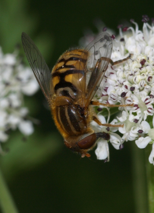 hoverfly 8