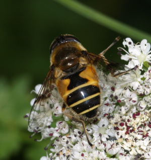 hoverfly 9