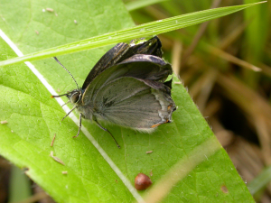 Freak Hairstreak